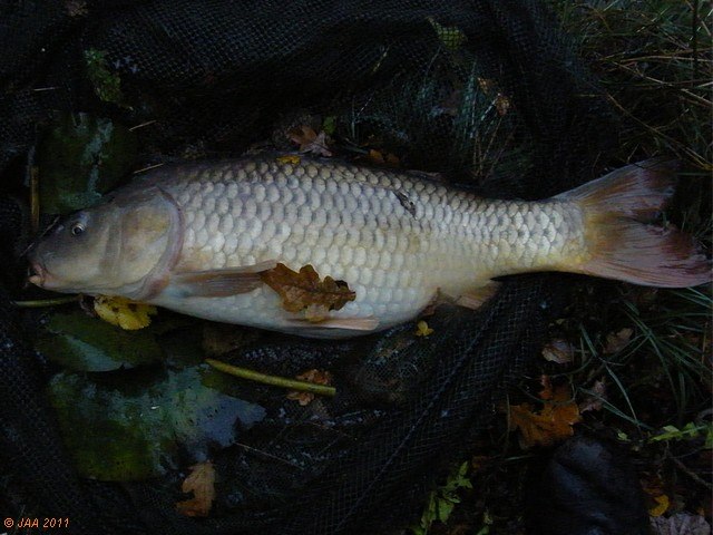 The Last Common, 13lb
