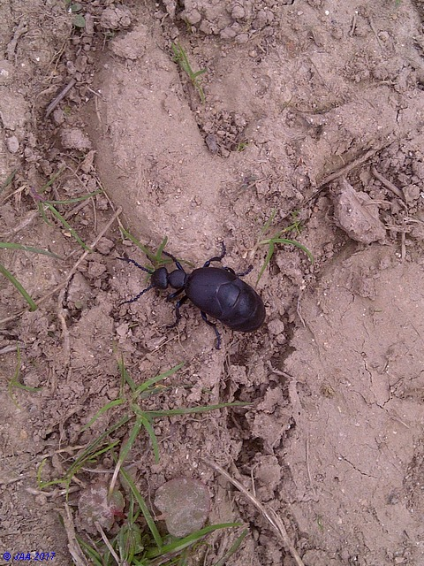 Black Oil Beetle (Meloe violaceus)
